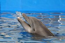 Дельфины являются хитом Исландии
