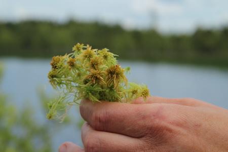 Сфагнум - главное богатство любого болота