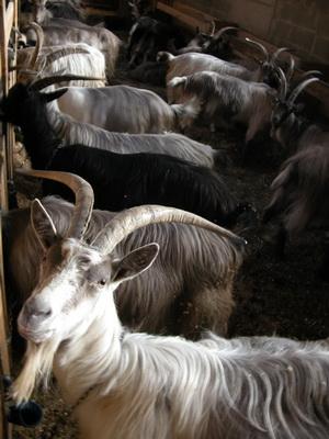 Местные козы имеют длинную шерсть