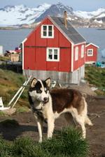 Каждая семья эскимосов имеет ездовых собак