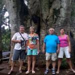 Маврикий. Баобаб он и в Африке баобаб