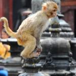 Непал. Планета обезьян