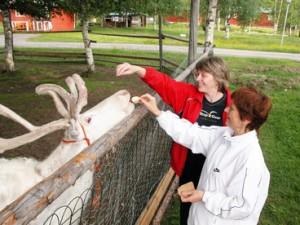 Финские олени берут корм из рук