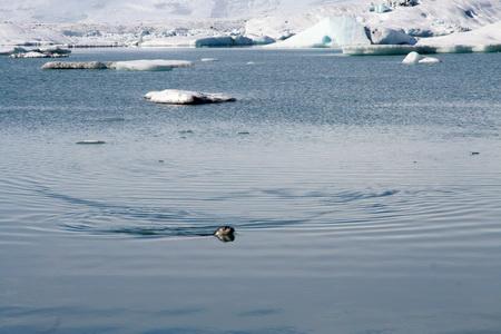 Тюлень в северном климате чувствует себя как рыба в воде