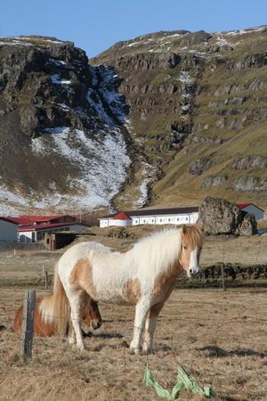 Первых лошадей на остров завезли в IX веке