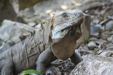 Игуана из Тулума
