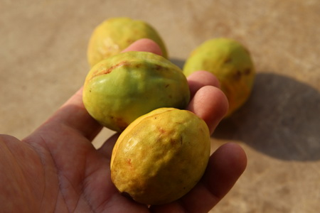 Загадочный фрукт бадам