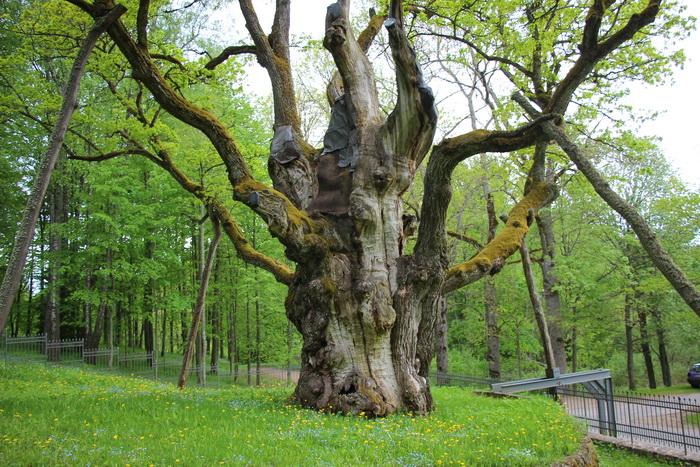 Картинки по запросу стелмужский дуб